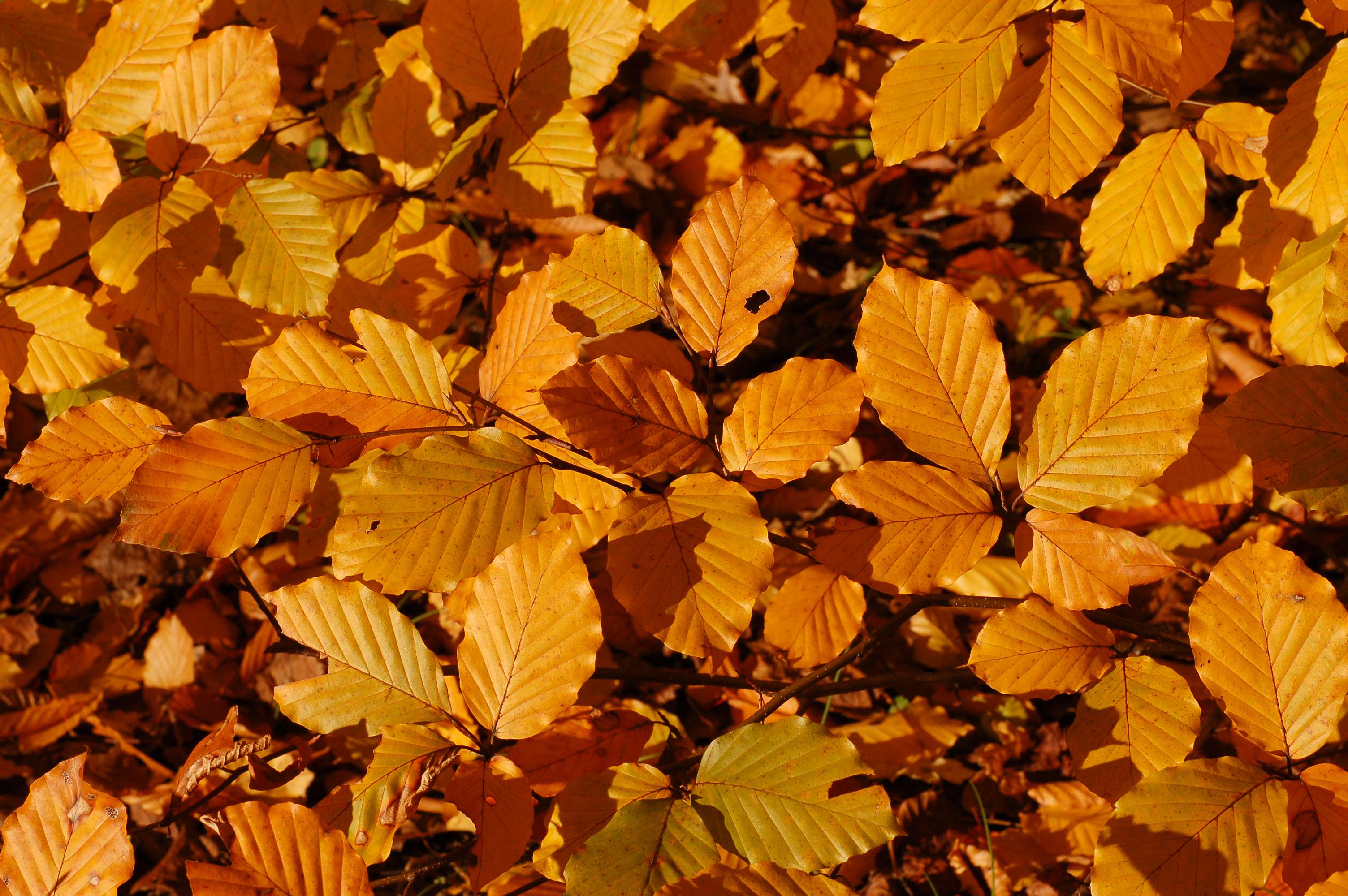 Fall leaves. Photo: Wikimedia Commons.